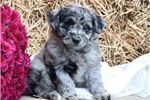 Picture of Diane CZ JackRussell PomaPoo Pup