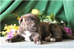 Picture of Foster JS  Designer Presa Canario Amer Bulldog Pup