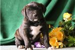 Picture of Eddy JS Designer Presa Canario Amer Bulldog Pup