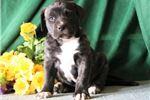 Picture of Elizabeth  Designer Presa Canario Amer Bulldog Pup