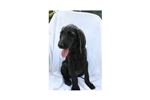 Picture of Remmington #3SM Male Weimardoodle