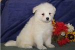 Picture of Cherish DS Healthy Beautiful Samoyed Puppy