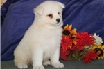 Picture of Tundra DS Healthy Beautiful AKC Samoyed Puppy