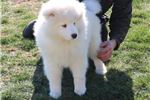 Picture of Samson MZ Top Quality AKC Samoyed Puppy