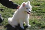 Picture of Sierra MZ Top Quality Samoyed Puppy