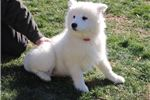 Picture of Spencer MZ Top Quality AKC Samoyed Puppy