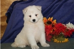 Picture of Missy DS Healthy & Beautiful  AKC Samoyed  Puppy
