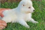 Samoyeds for sale