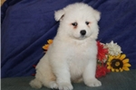 Picture of Jackson DS Healthy AKC Beauitiful Samoyed