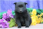 Picture of Sparky BL Quality Black Schipperke Puppies