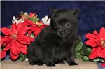 Sammy BL Sweet Darling Schipperke Puppy | Puppy at 8 weeks of age for sale