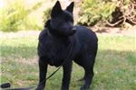 Picture of Musta BL Black Healthy Schipperke APR Puppy