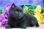 Picture of Dasher BL Quality Black Schipperke Puppies