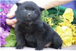 Picture of Crystal BL Quality Black Schipperke Puppies