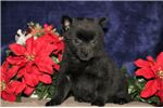 Sean BL Sweet Darling Schipperke Puppy | Puppy at 8 weeks of age for sale