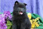 Picture of Alex BL Quality Black Schipperke Puppies
