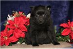 Sedda BL Sweet Darling Schipperke Puppy | Puppy at 8 weeks of age for sale