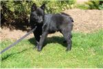 Picture of Preto BL Healthy Cute APR Reg. Schipperke Puppy