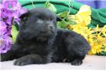 Picture of Daisy BL Quality Black Schipperke Puppies