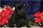 Season BL Sweet Darling Schipperke Puppy | Puppy at 8 weeks of age for sale