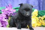 Picture of Bindy BL Quality Black Schipperke Puppies