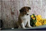 Picture of Royal JS Healthy Cute Playful Sheltie Puppy