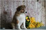 Picture of Majic JS Healthy Cute Playful Sheltie Puppy