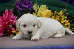 Picture of Merle EE Fluffy Sweet, Cute Male ShihPoo Puppy