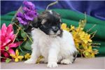 Picture of Kathy EE Fluffy Sweet, Cute Female ShihPoo Puppy