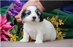 Picture of Marlene EE Fluffy Sweet, Cute Male ShihPoo Puppy