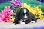 Picture of Jasmine EE Fluffy Sweet, Cute Male ShihPoo Puppy
