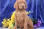 Picture of Noah SS Majestic,Fine,HealthyStately Vizsla Pup