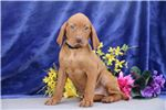 Vizsla for sale