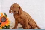 Picture of Lizzie SS Golden Rust Vizsla Hungarian Hunter Pup
