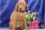 Picture of Matias SS Majestic,Fine,HealthyStately Vizsla Pup