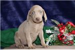 Picture of Macy FF Healthy,Stately, Playful Weimeraner Puppy