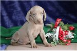 Picture of Dusty FF Healthy,Stately, Playful Weimeraner Puppy