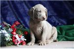 Picture of Mario FF Healthy,Stately, Playful Weimeraner Puppy