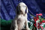 Picture of Rusty FF Healthy,Stately, Playful Weimeraner Puppy