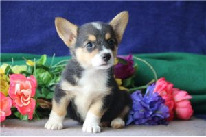 Cardigan Welsh Corgis for sale