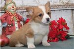 Picture of Isaac DS Healthy Christmas PembrokeWelsh Corgi Pup