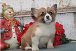 Picture of Betsy DS Healthy Christmas PembrokeWelsh Corgi Pup