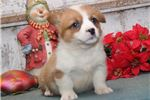 Picture of Randy DS healthy Christmas Welsh Corgi Puppy