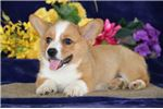 Picture of Carson LH Healthy Pembroke Welsh Corgi Pup