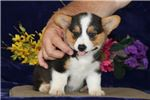 Picture of Romeo LH Healthy Pembroke Welsh Corgi Pup