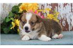 Picture of a Pembroke Welsh Corgi Puppy