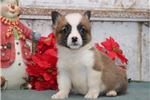 Picture of Christmas DS Healthy Christmas Welsh Corgi Puppy