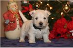 Picture of Sophie RS Christmas West Highland Terrier Puppy