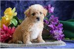 Picture of Brice JS Cuddly, Soft, Westie Poo Puppy