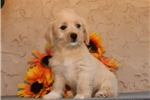 Picture of Angel EE Healthy Hypoallergenic Westiepoo Puppy